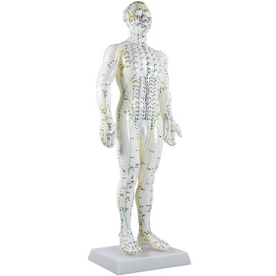 Model Human Body 50cm Male